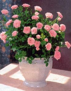 Как ухаживать за карликовой розой