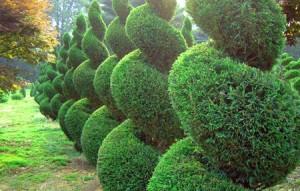 Формирование кроны хвойных деревьев
