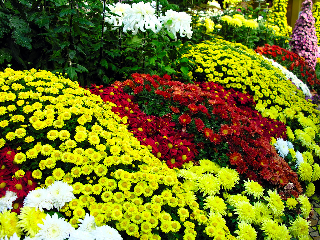 Хризантема посадка и уход в саду