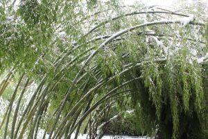 Холодостойкий бамбук