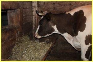 Как оборудовать хлев для коров в загородном доме