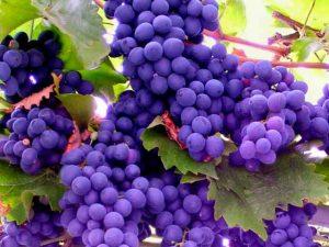 Какой виноград выращивать для создания вина